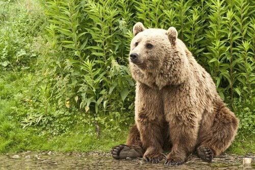 En bjørn ved siden av en busk