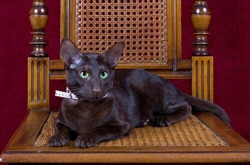 Havana brown-katten: Brun som tobakk og kaffe