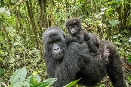 Mor og babygorilla går gjennom jungelen