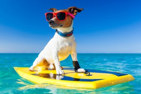 En hund på et surfebrett