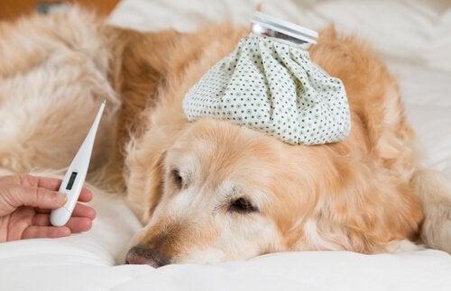 Hvordan vet du at hunden har feber, og hva gjør du?