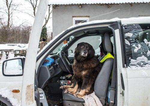 Hva gjør jeg hvis hunden er redd for biler?