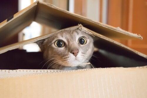 Katt i boks