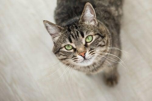 katt stirrer