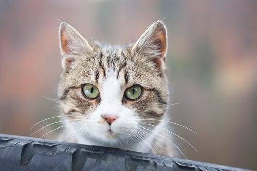 Hvorfor katten stirrer på deg