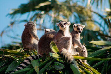 Lemurer sitter i toppen av et tre
