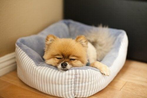 En liten hund sover i hundeseng