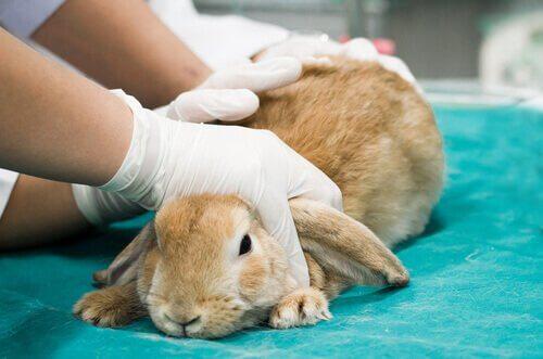 Lopper hos kaniner.