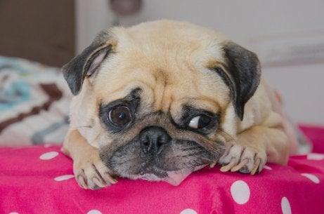 Fordøyelsesproblemer kan forårsake hikke hos hunder og katter.