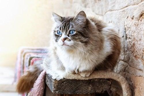 Bilde av en langhåret katt med blå øyne.