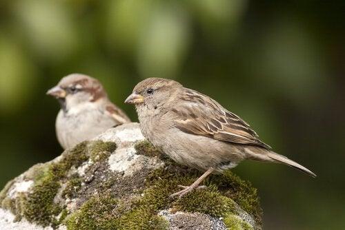 Bilde av fuglearten gråspurv.