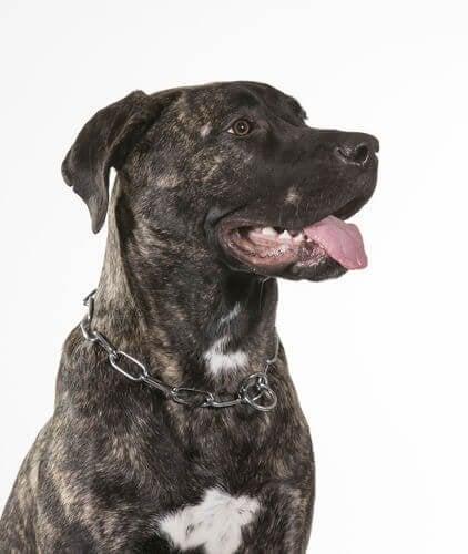 Dogo canario: en særegen hunderase