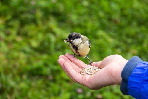 Fugl spiser frø fra en hånd.