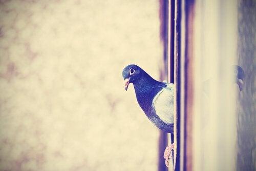 Bilde av en due i et vindu.