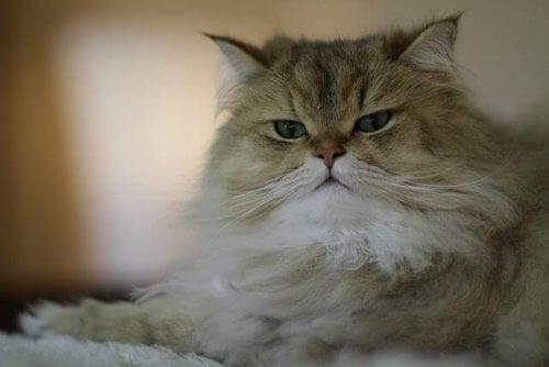 En katt med tykk og lang pels.