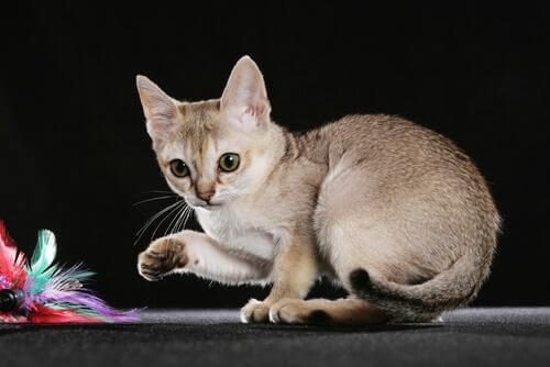 5 av de minste katterasene i verden: Katt i praktisk størrelse