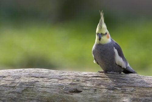 Grå, hvit og gul kakadue sitter på en stamme