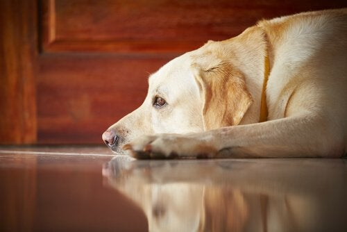Hund slapper av på gulv - coronavirus hos hunder