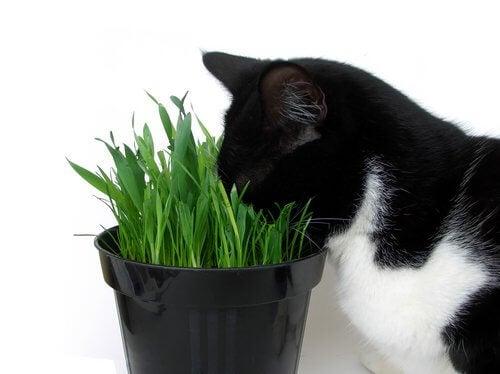 En svart og hvit katt lukter på en grønn plante.