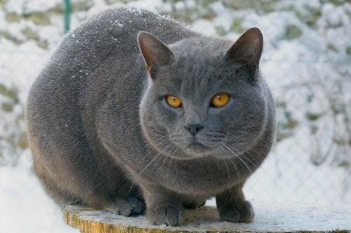 Katteraser med en kort pels