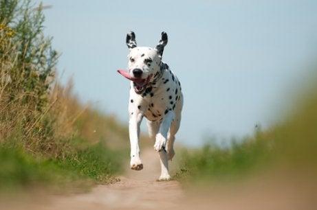 Dalmatiner løper på landet