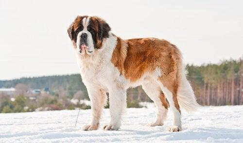 Sanktbernhardshund er en av de største hunderasene