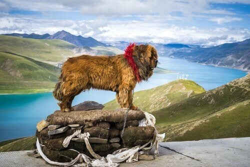 Tibetansk mastiff ser utover