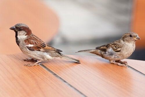 Fakta om fuglearten gråspurv