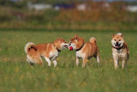 To hunder leker sammen i gresset.