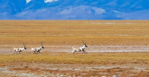 Antiloper fra Tibet bor på platåer i høyden.