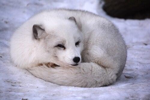 En fjellrev med en hvit vinterpels slapper av ute i snøen.
