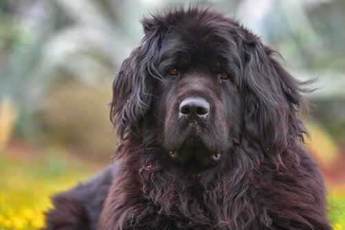 Den vakre hunderasen newfoundlandshund er god til å svømme.