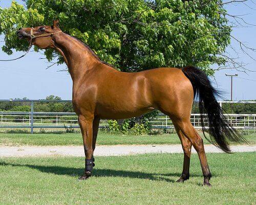 En brun hest på en gressplen foran et grønt tre.