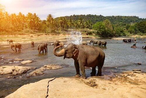 Elefanter ved vann dusjer seg med snabelen.