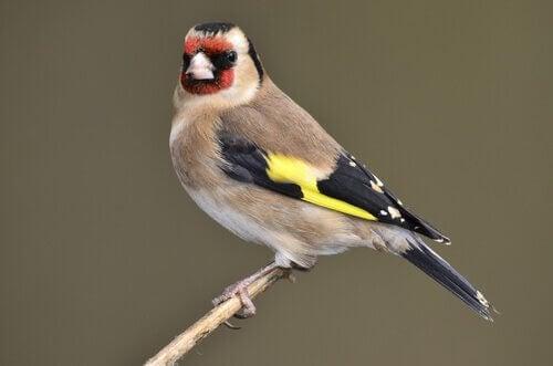 Fugler som synger mest - Ulike fuglearter
