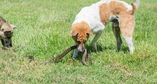 En hund biter en slange ute på en gressplen.