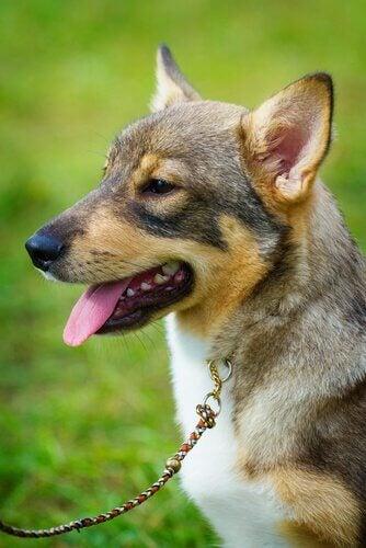 En hund i bånd ute på en gressplen.