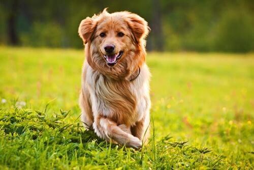 En hund løper i gresset