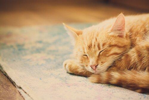 En katt sover