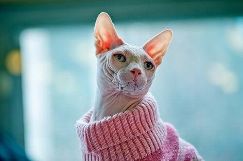 En katt uten pels med en rosa genser.