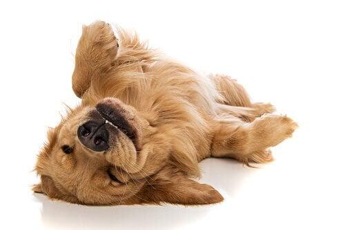 En lykkelig hund slapper av.