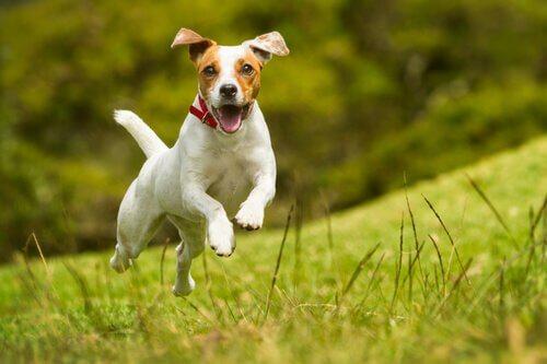Tegn som indikerer at en hund er lykkelig