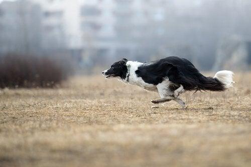 En svart og hvit hund løper raskt utendørs.