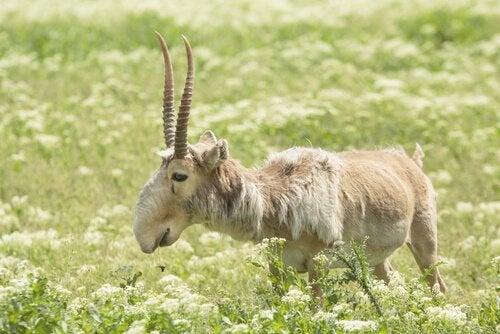 En tynn antilope med tykk pels.
