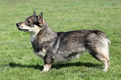 En hund av rasen västgøtaspets på en gressplen.