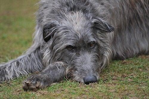 En grå hund som slapper av på en gressplen.