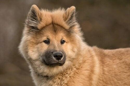 Hunderasen eurasier er en krysning av chow-chow