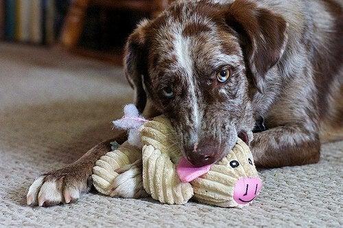 Pubertet hos hunder foregår på mange måter likt som hos oss mennesker.
