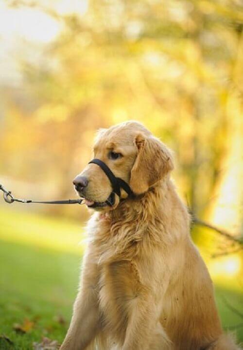 Hund med haltibånd