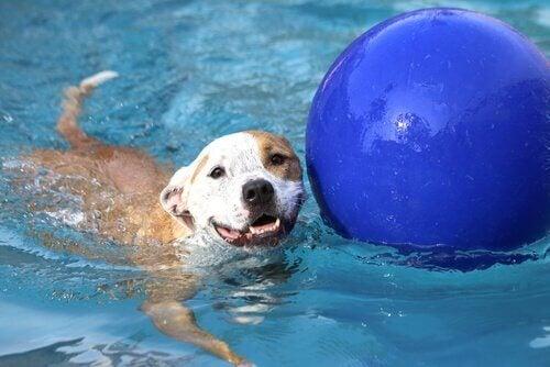 Lykkelig hund svømmer i basseng med blå ball.